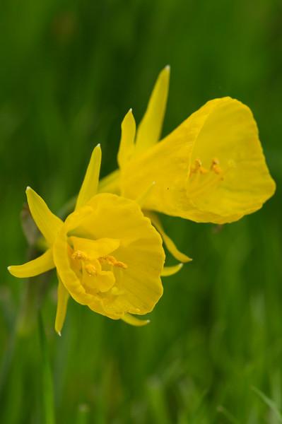 Narcissus 'Petticoat' 02