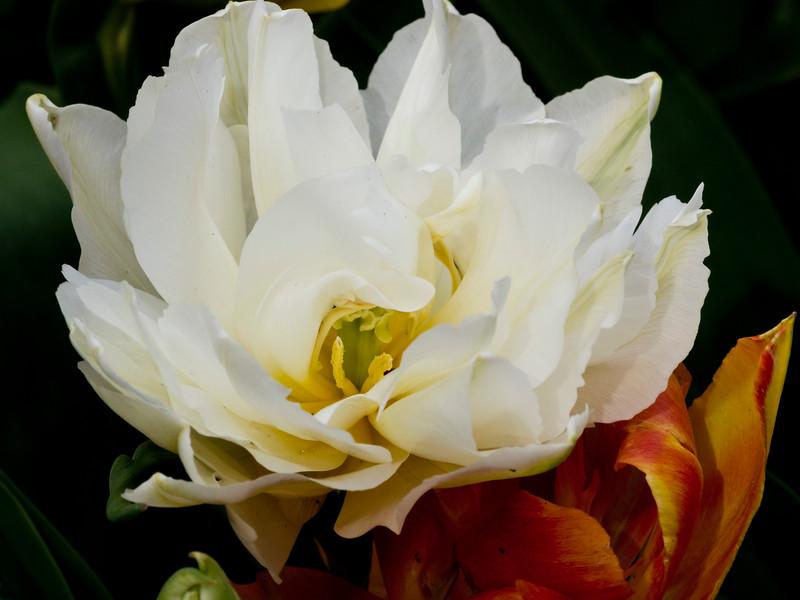 White and Orange Double Tulips