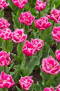 "Tulipa ""Double Princess"" 01"