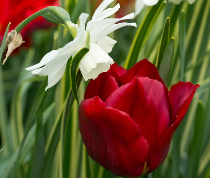 White Narciss & Red Tulip
