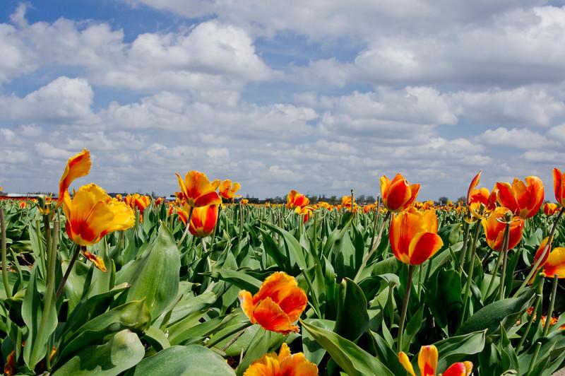 Tulip Field near the Keukenhof