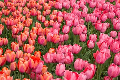 Tulipa Apricot Impression 03