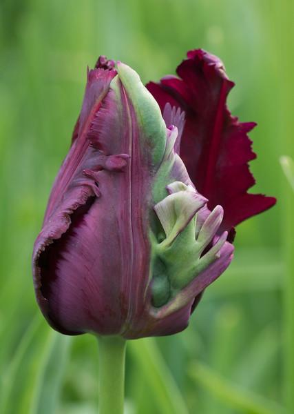 "Tulipa ""Black Parrot"""