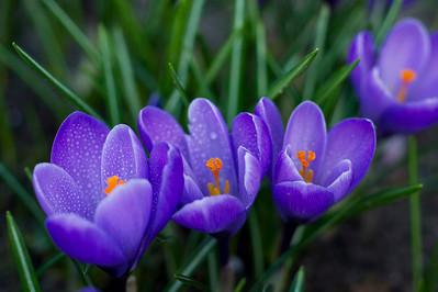 Crocus flowers with raindrops