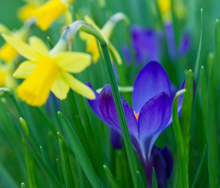 Daffodils with Crocus