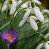 Snowdrops and crocus Flower