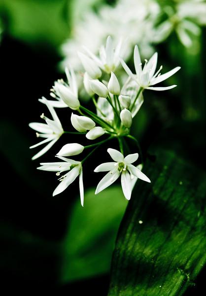 Wild Garlic flowers in the Leidse Hout