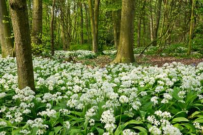 Wild Garlic Flowers in Spring