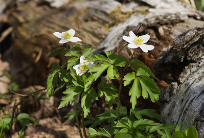 White Forest Anemone II