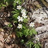 White Forest Anemone III
