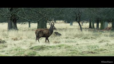 Lone Deer.