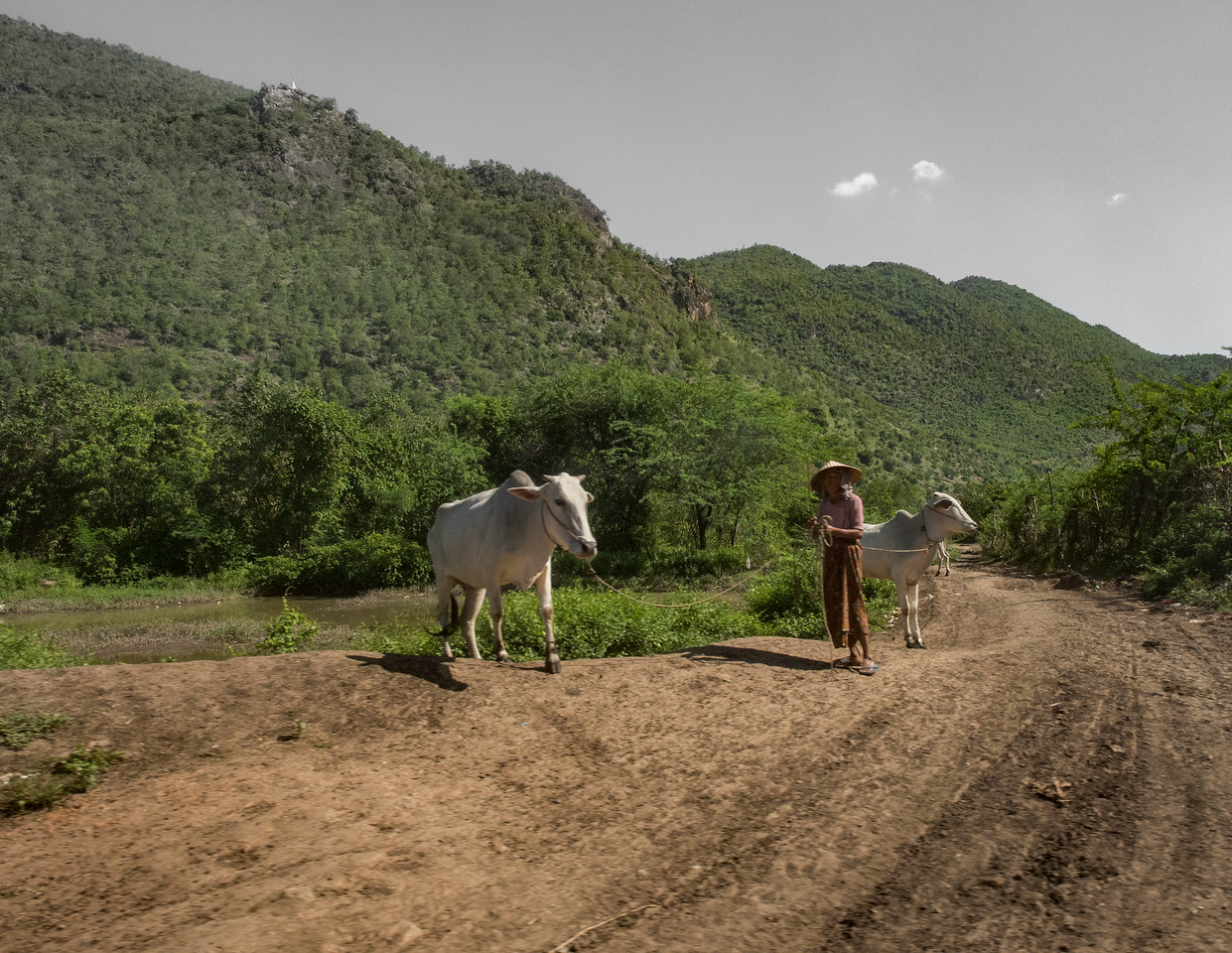 Farmer with oxen, Kyaukse, Myanmar