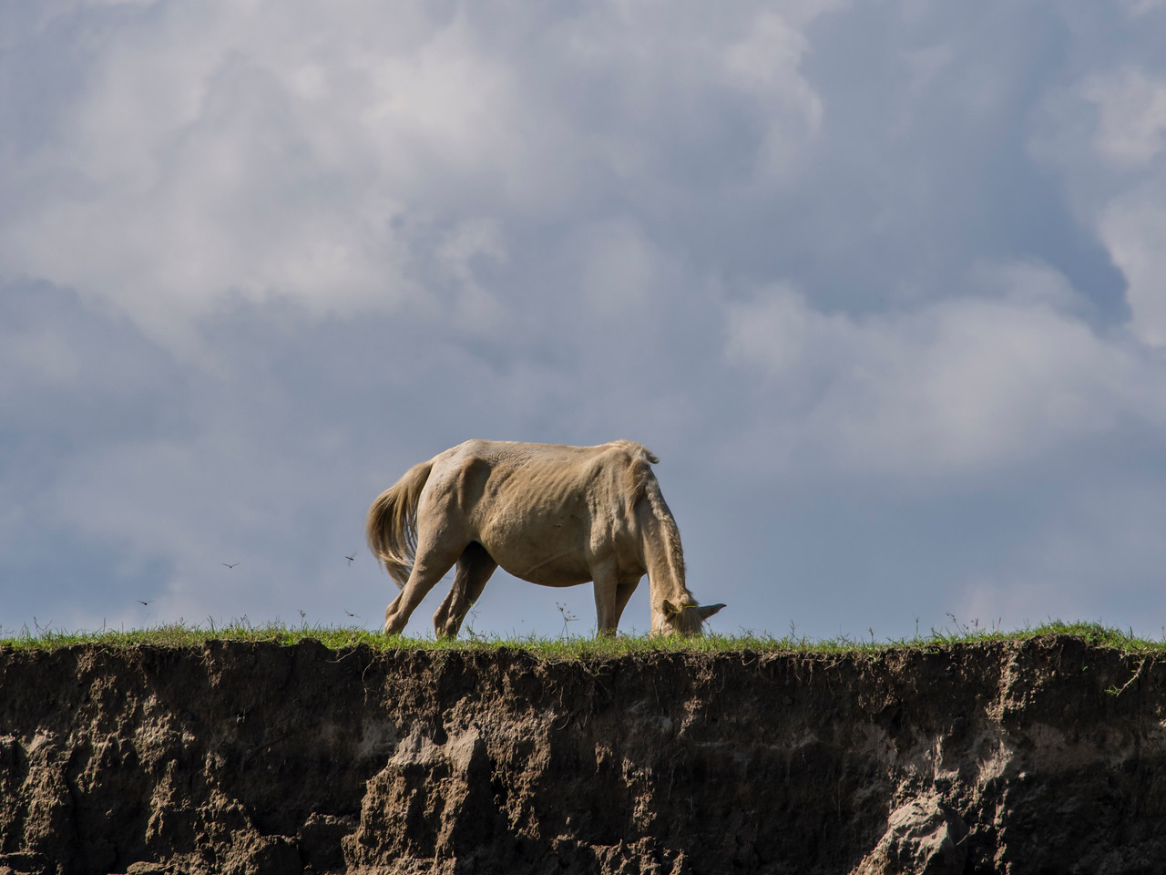 White horse grazing on the banks of the Chindwin River, Myanmar