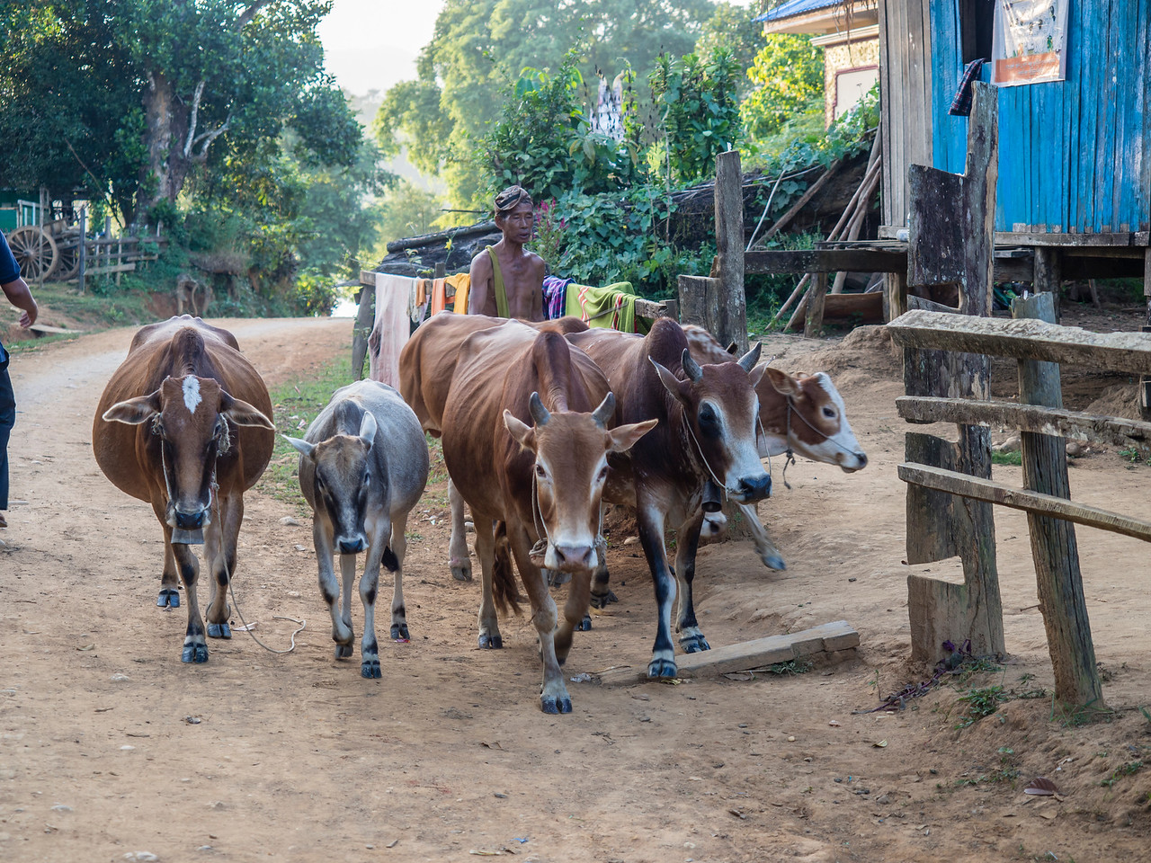 Man with oxen, Shan village