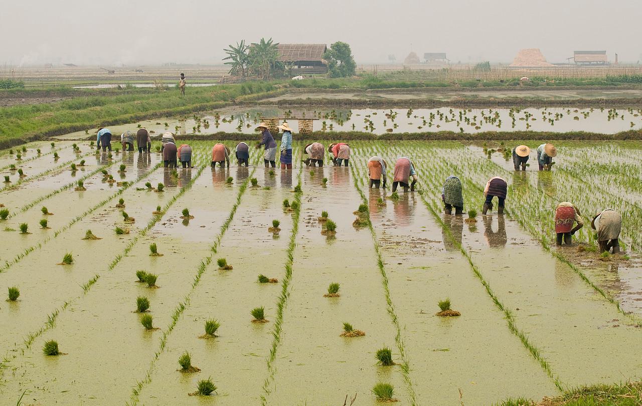 Rice PlantersBUR_9227
