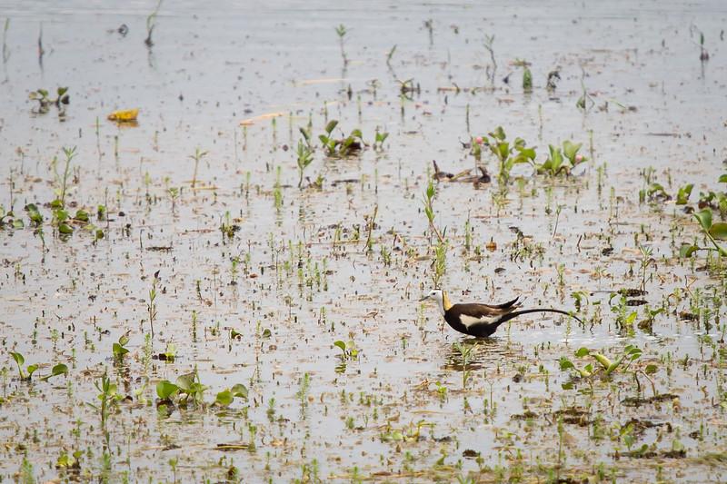 Pheasant-tailed Jacana, Inle Lake, Myanmar, July 2017