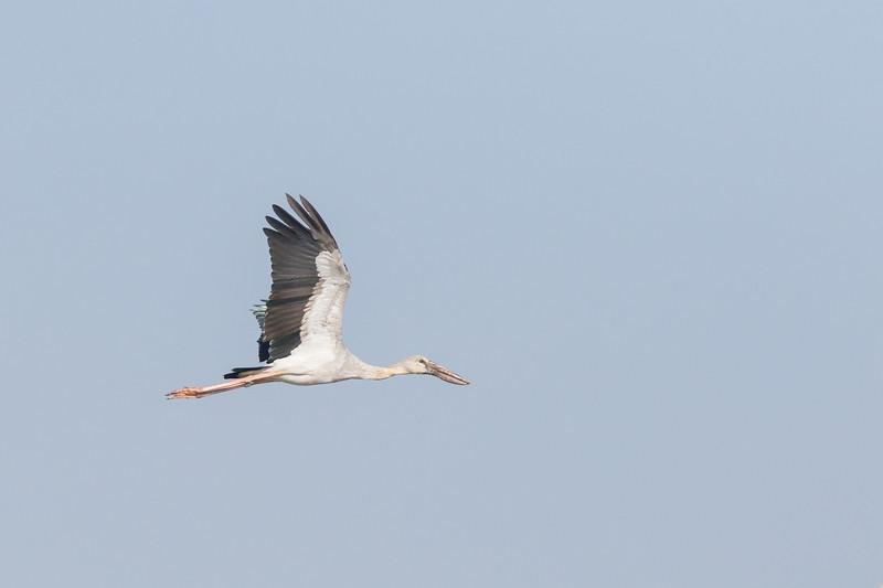 Asian Openbill Stork, Inle Lake, Myanmar, July 2017