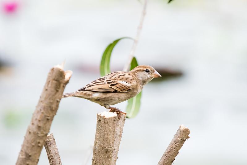 House Sparrow (female), Kandawgyi Lake, Myanmar, June 2017