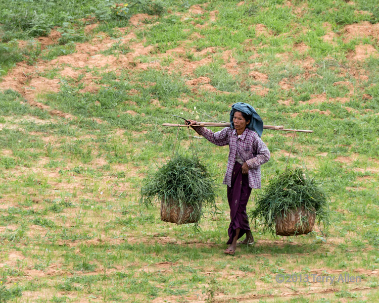 """Woman carrying baskets of fodder, Bagan, Myanmar<br /> <br /> Some of you commented that you felt sorry for the oxen ploughing the field (yesterday's photo).  The humans are also 'beasts of burden', as in this photo of an older woman who I watched cutting fodder for the oxen (see the scythe in her hand at larger views), and carrying the heavy baskets across the field and dumping the load by a tree.  She then took a well deserved smoke break (see here: <a href=""""http://goo.gl/naxUv"""">http://goo.gl/naxUv</a>) before carrying the empty baskets off in search of more fodder.   I think the 'smoke break' photo is the better of the two photos from the technical point of view, but it makes a better narrative to present this one first.  Comments?<br /> <br /> There is a natural cycle here:  the oxen are labouring to prepare the field for growing food for humans, and the humans are labouring in other fields to collect food for the oxen.<br /> <br /> Both photos of the woman were taken from the upper level of Pyathanda temple.  You can see some nice photos of this temple by clicking on the above link."""