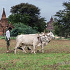 Farmer plowing field with oxen (Bos indicus)-3, Bagan, Myanmar