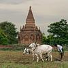 Farmer plowing his field with zebu (bos Indicus), Bagan, Myanmar