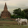 Farmer working in field and zebu (bos indicus) hitched to a plow in front of a stupa, Bagan, Myanmar