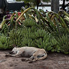 Dog-sleeping-next-to-banana-bunches,-Irrawaddy-River-docks,-Yangon,-Burma
