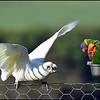 Little Corella and Rainbow Lorikeet