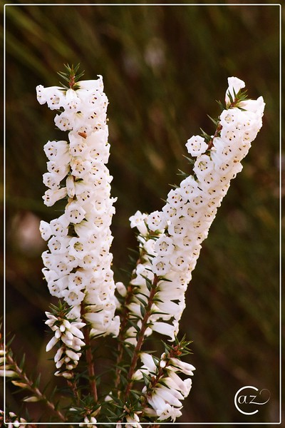 Heath [Epacris impressa]