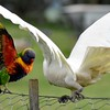 Rainbow Lorikeet and Little Corella