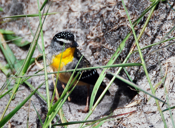 Female spotted Pardalote  Bemm River, at the nest entrance
