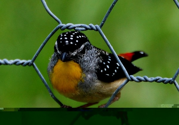 Male spotted Pardalote, common in far East Gippsland