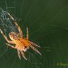 Araneus diadematus, Araneidae
