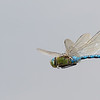 Anax imperator, In-flight