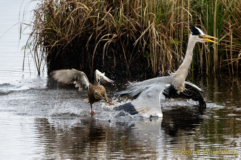 Ardea cinerea and Anas platyrhynchos (f)