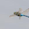 Grote keizerlibel (in vlucht)