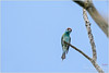 Blue-throated Bee-eater