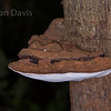 Southern Bracket fungus