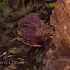 Beefsteak Fungus 3