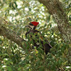 One of the giant woodpeckers that show up from time to time...