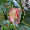 Only one rose getting ready to bloom in the garden so it won the photo of the day contest ....