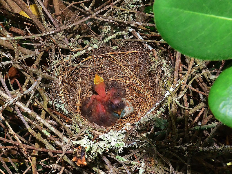 The eggs finally hatched yesterday (see earlier posting) ,  Just stuck the camera in the bush and clicked , the mama was nearby and getting nervous..