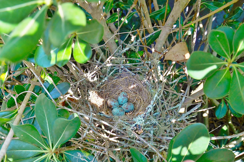 Noticed a scrub jay would fly out of my shrubs every time I walked by them..now I know why..