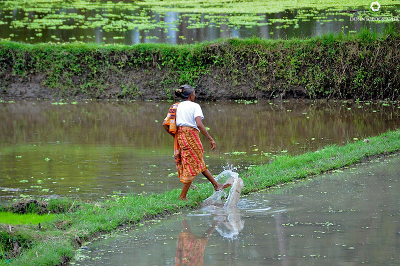 Working the rice fields in Ubud