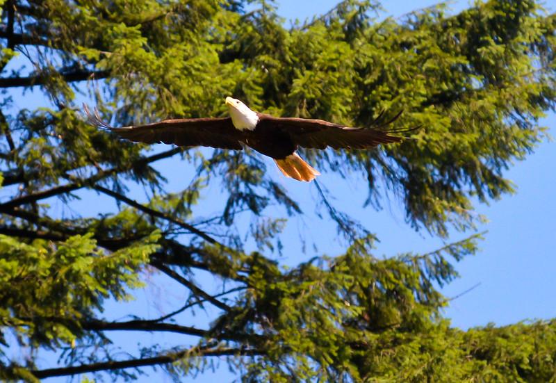 Eagle at Coldwell Beach