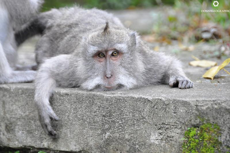 poor big monkey