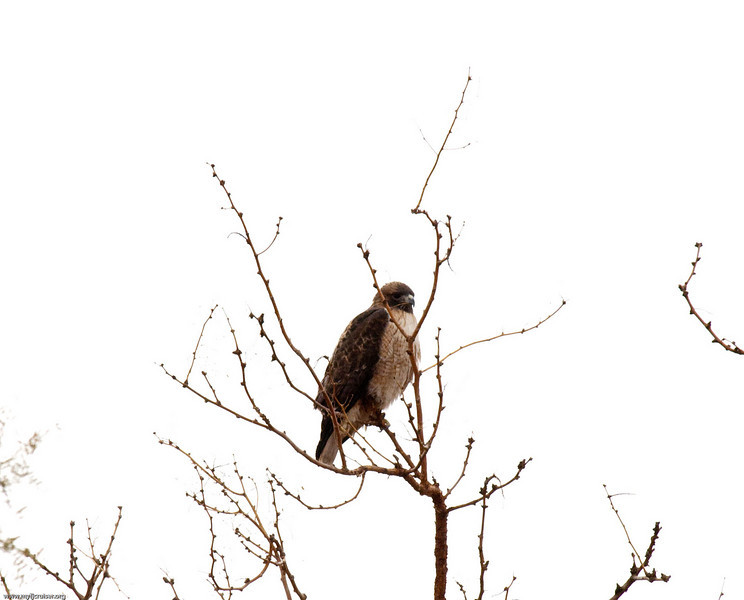 Hawk near one of the springs