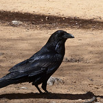 Raven looking for handouts