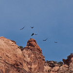 Condors in flight