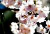 Flowering tree  007 DSC_3068 042113